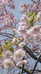 菊池隆志 公式ブログ/『本日の桜�♪o(^-^)o 』 画像1