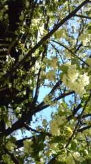 菊池隆志 公式ブログ/『御衣黄桜( ギョイコウサクラ) ♪』 画像1