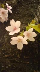 菊池隆志 公式ブログ/『桜♪o(^-^)o 』 画像3