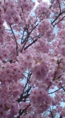 菊池隆志 公式ブログ/『本日の桜♪o(^-^)o 』 画像1