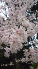 菊池隆志 公式ブログ/『桜咲く& 猫o(*^-^)o 』 画像1