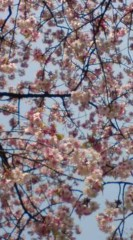 菊池隆志 公式ブログ/『桜♪( ̄▽ ̄*)』 画像2