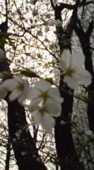 菊池隆志 公式ブログ/『街の桜♪o(^-^)o 』 画像3