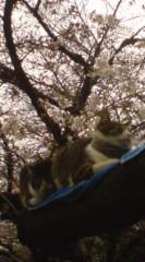 菊池隆志 公式ブログ/『桜咲く& 猫o(*^-^)o 』 画像3