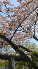 菊池隆志 公式ブログ/『桜♪o(^-^)o 』 画像1