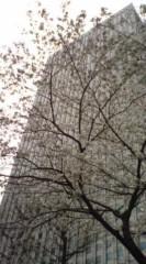 菊池隆志 公式ブログ/『街の桜♪o(^-^)o 』 画像1