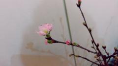 達淳一 公式ブログ/桜 画像2