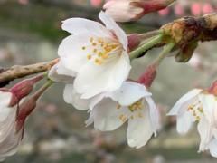 達淳一 公式ブログ/桜? 画像1