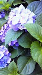 伊藤竜翼 公式ブログ/紫陽花 画像1