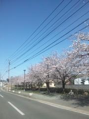 加來沙耶香 公式ブログ/桜満開 画像1