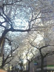 金籐清花  公式ブログ/桜 画像1
