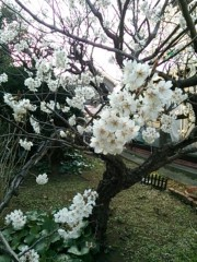 中村高華 公式ブログ/桜〜 画像1