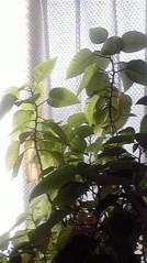 一石二鳥 公式ブログ/観葉植物のお世話 画像3
