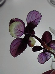 一石二鳥 公式ブログ/観葉植物 画像2