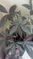 一石二鳥 公式ブログ/観葉植物のお世話 画像2