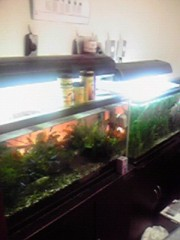 一石二鳥 公式ブログ/熱帯魚を飼育しています 画像1
