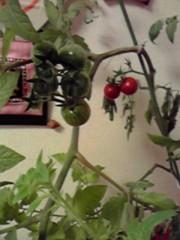 一石二鳥 公式ブログ/プチトマト 画像1