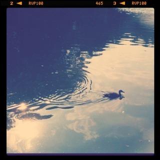 Bird swim