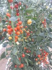 なお(だいなお) 公式ブログ/フルーツトマト収穫。in石川県小松市向本折町 画像1
