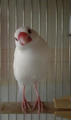 大山真実 公式ブログ/うちの文鳥 画像1