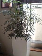 エイジア エンジニア 公式ブログ/観葉植物 画像1