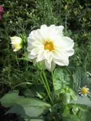 池内ひろ美 公式ブログ/庭の花 画像1
