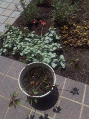 池内ひろ美 公式ブログ/四つ葉のクローバー 画像1