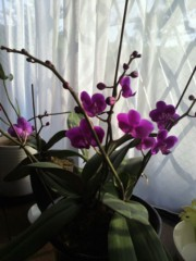 池内ひろ美 公式ブログ/胡蝶蘭が咲きました♪ 画像1
