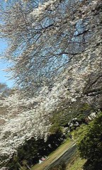 桜のどか 公式ブログ/桜♪ 画像2