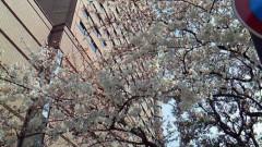 石神 瑤生子 公式ブログ/桜 画像1