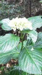 中ゆうこ 公式ブログ/雨に濡れた紫陽花。 画像1
