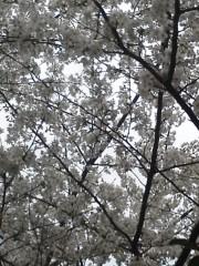中ゆうこ 公式ブログ/桜。 画像1