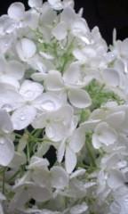井上和彦 公式ブログ/紫陽花 画像2