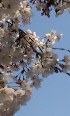 井上和彦 公式ブログ/桜が咲きました 画像1