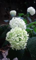 井上和彦 公式ブログ/紫陽花 画像1