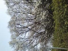井坂聡 公式ブログ/コブシの花 画像1