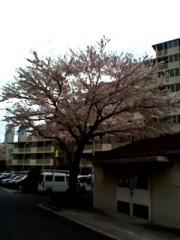 呉致豪 公式ブログ/つよし物語第27章・桜さく 画像1