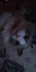 佐藤峻 公式ブログ/実家のラグドール、セナ登場 画像1