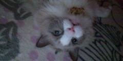 佐藤峻 公式ブログ/実家のラグドール、セナ登場 画像2