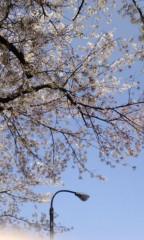 城所葵 公式ブログ/桜♪ 画像1