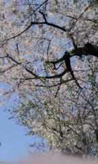 城所葵 公式ブログ/桜♪ 画像2