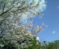 佐藤海弘 公式ブログ/桜満開 画像2