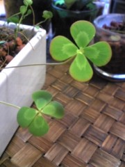 大友典子 公式ブログ/四つ葉のクローバー 画像1