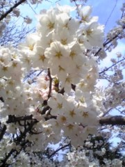 大友典子 公式ブログ/近所の桜が 画像1