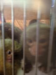 アントニオ小猪木 公式ブログ/好奇心旺盛なピグミー! 画像1