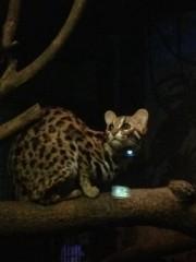 アントニオ小猪木 公式ブログ/ヤマネコの子猫 画像1