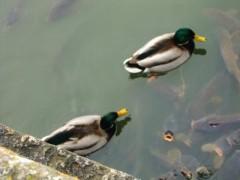 アントニオ小猪木 公式ブログ/庭に二羽の鴨 画像1