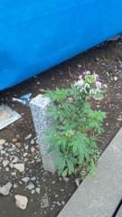 アントニオ小猪木 公式ブログ/花の成長 画像1