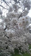 アントニオ小猪木 公式ブログ/烏帽子山公園は桜満開 画像1