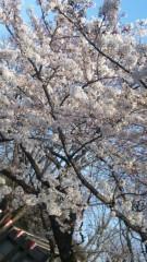 アントニオ小猪木 公式ブログ/帰京で桜ダァーッ! 画像1